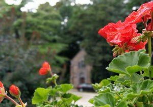 geranium en fleur dans la cour d'entree de chateau beaumont